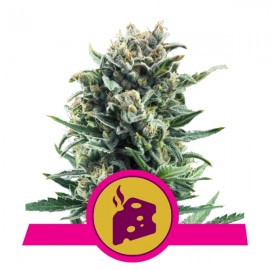 Blue Cheese Royal Queen Seeds 3 semi