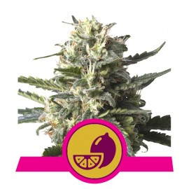 Lemon Shining Silver Haze Royal Queen Seeds 3 semi femminizzati
