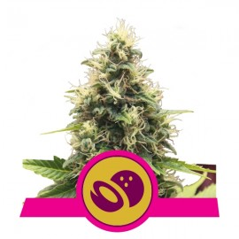 Somango XL Royal Queen Seeds 3 semi femminizzati