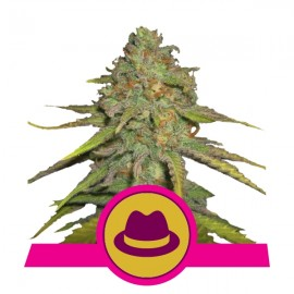 O.G. Kush Royal Queen Seeds 3 semi femminizzati