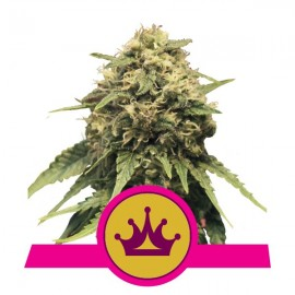 Special Queen 1 Royal Queen Seeds 3 semi femminizzati