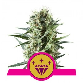 Special Kush 1 Royal Queen Seeds 3 semi femmnizzati