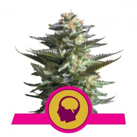 Amnesia Haze Royal Queen Seeds 3 semi femminizzati