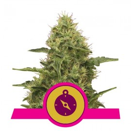 Northern Light Royal Queen Seeds 3 semi femminizzati