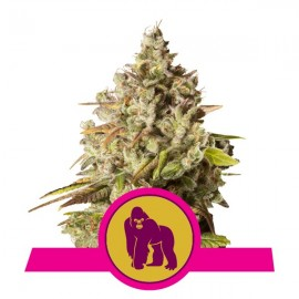 Royal Gorilla Royal Queen Seeds 3 semi femminizzati