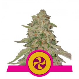 Sweet Zkittlez Royal Queen Seeds 3 semi femminizzati