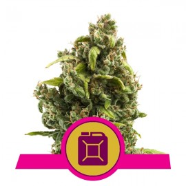 Sour Diesel Royal Queen Seeds 3 semi femminizzati