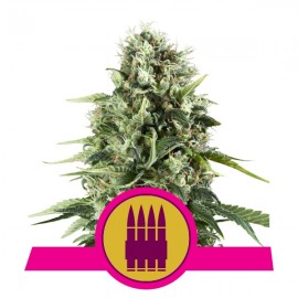 Royal AK Royal Queen Seeds 3 semi femminizzati