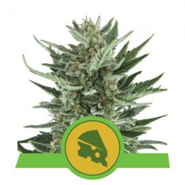 Royal Cheese Automatic Royal Queen Seeds 3 semi femminizzati