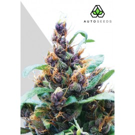 Purple Stilton Auto Seeds 3 semi femminizzati