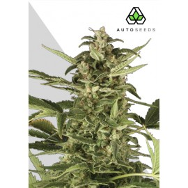 Juicy Lucy Auto Seeds 3 semi femminizzati