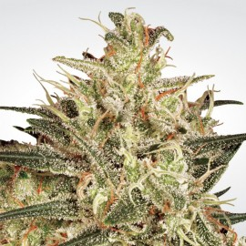 Atomical Haze Paradise Seeds 3 semi femminizzati