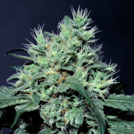 Dutch Dragon Paradise Seeds 3 semi femminizzati