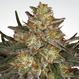 Dutch Kush Paradise Seeds 3 semi femminizzati