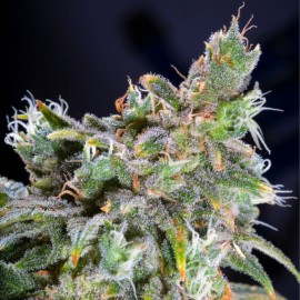 Magic Bud Paradise Seeds 3 semi femminizzati