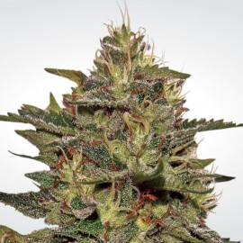Original Cheese (IBL) Paradise Seeds 3 semi femminizzati