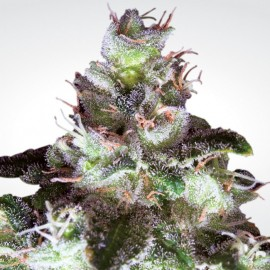 Original White Widow (IBL) Paradise Seeds 3 semi femminizzati
