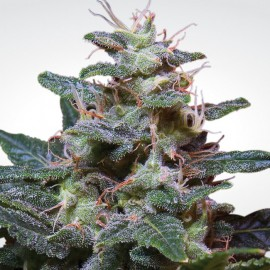 Sweet Purple Paradise Seeds 3 semi femminizzati