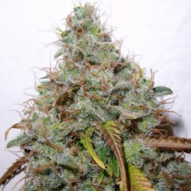 White Berry Paradise Seeds 3 semi femminizzati