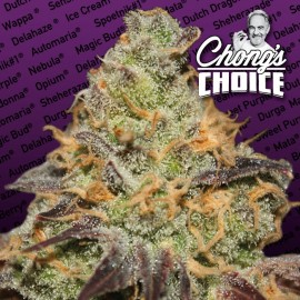 Blue Kush Berry Paradise Seeds 3 semi femminizzati Chong's Choice
