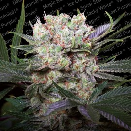 Californian Gold Paradise Seeds 3 semi femminizzati