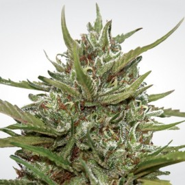 Auto Whiteberry Paradise Seeds 3 semi femminizzati