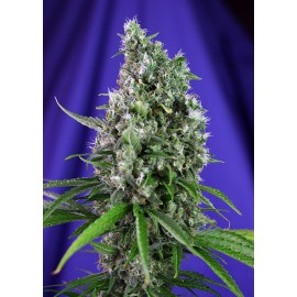 Sweet Trainwreck auto Sweet Seeds 3 semi