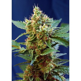 Cream Mandarine XL auto Sweet Seeds 3 semi