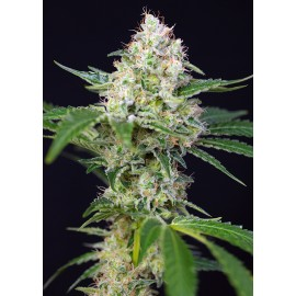 Crystal Candy Sweet Seeds 3 semi
