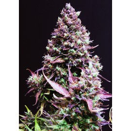 Cream Caramel auto Sweet Seeds 3 semi