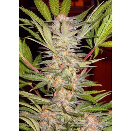 S.A.D. Sweet Afgani Delicious F1 Fast Version Sweet Seeds 3 semi