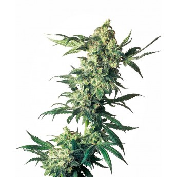 Northern Light Sensi Seeds 3 semi