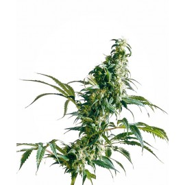 Mexican Sativa Sensi Seeds 3 semi femminizzati