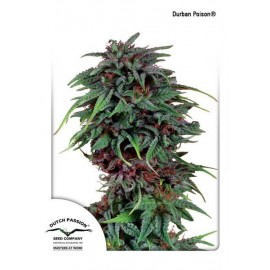Durban Poison Dutch Passion 3 semi femminizzati