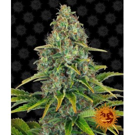 Blue Cheese Auto Barney's Farm 3 semi femminizzati