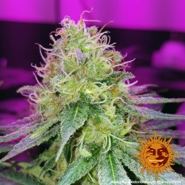 CBD Critical Cure Barney's Farm 3 semi femminizzati